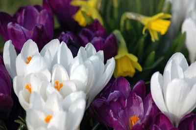 15676-voorjaarbloeiende-bollen-planten[1]