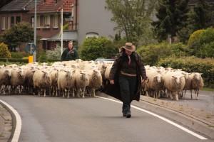 schapen-scheren-340788[1]