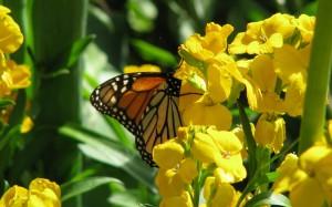 hd-achtergrond-met-gele-bloemen-en-vlinder[1]