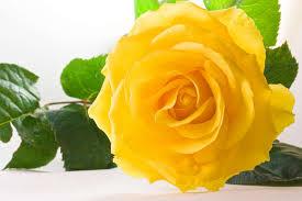 gele rozen 2