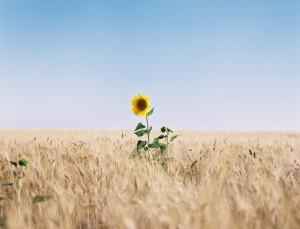 1 zonnebloem
