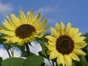 2 zonnebloemen